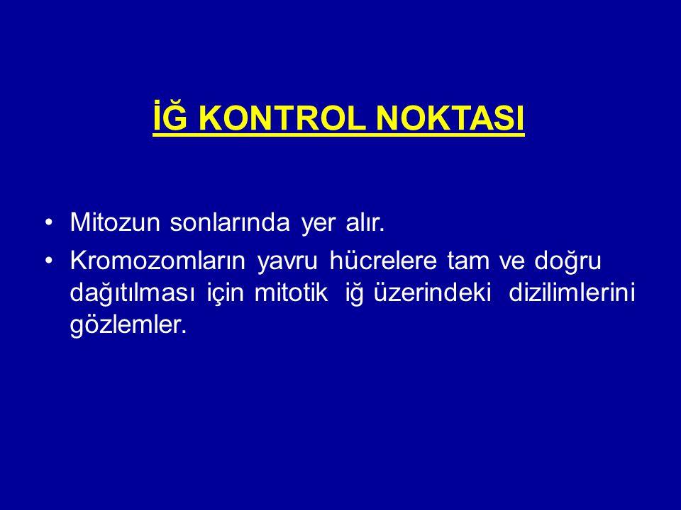 İĞ KONTROL NOKTASI •Mitozun sonlarında yer alır. •Kromozomların yavru hücrelere tam ve doğru dağıtılması için mitotik iğ üzerindeki dizilimlerini gözl