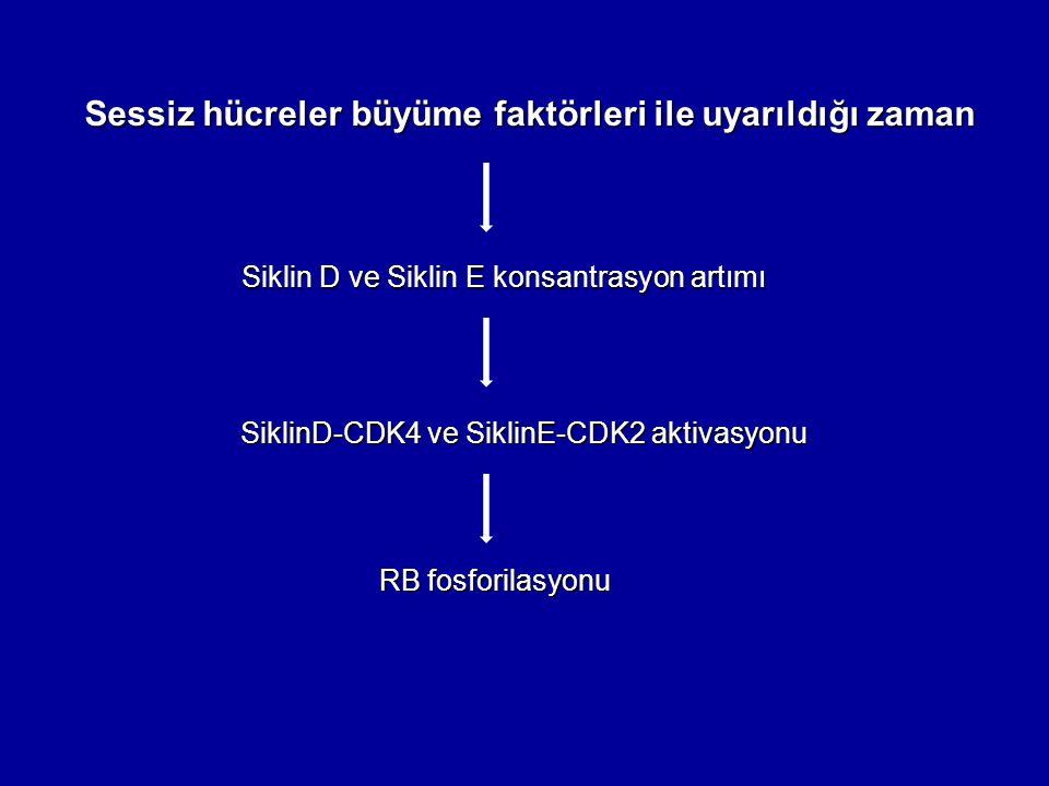 Sessiz hücreler büyüme faktörleri ile uyarıldığı zaman Siklin D ve Siklin E konsantrasyon artımı SiklinD-CDK4 ve SiklinE-CDK2 aktivasyonu SiklinD-CDK4