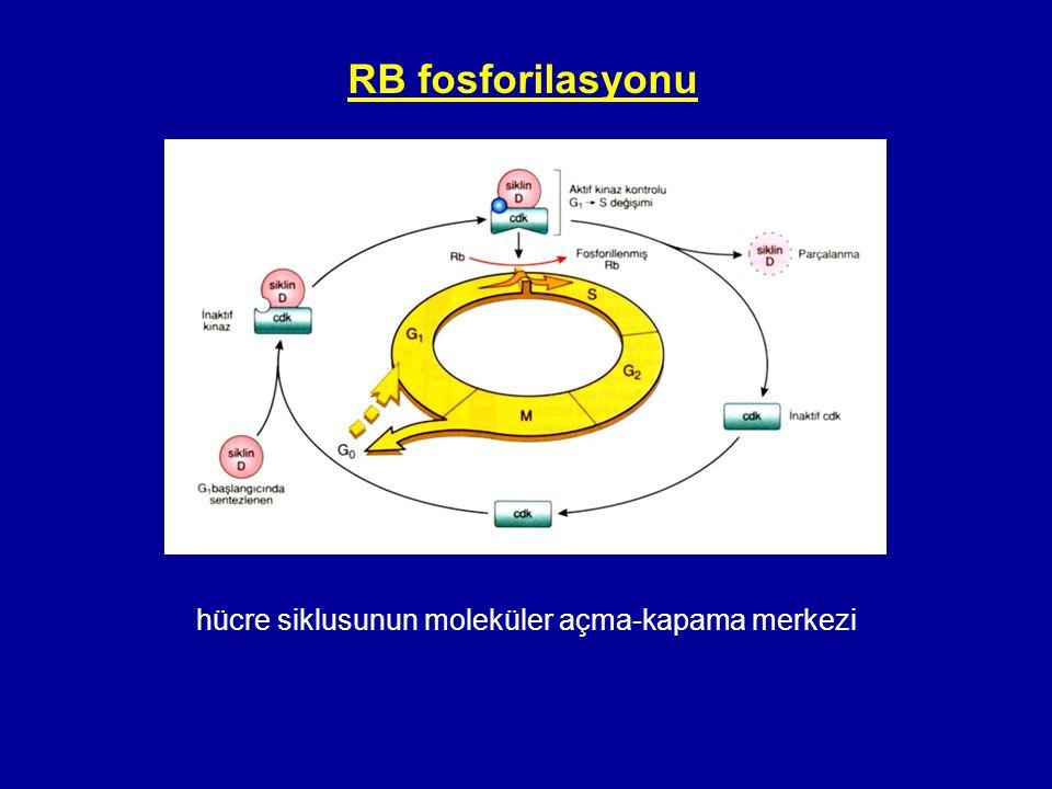 hücre siklusunun moleküler açma-kapama merkezi RB fosforilasyonu