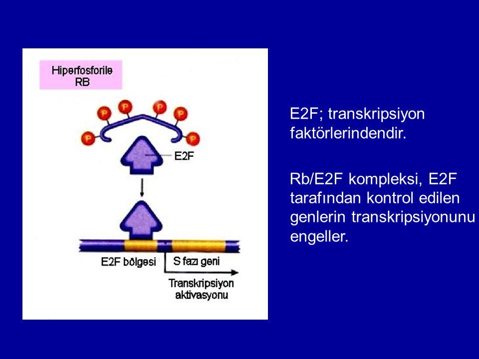 E2F; transkripsiyon faktörlerindendir. Rb/E2F kompleksi, E2F tarafından kontrol edilen genlerin transkripsiyonunu engeller.