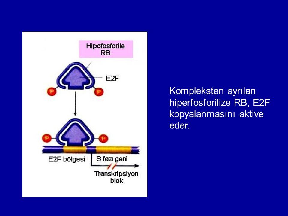 Kompleksten ayrılan hiperfosforilize RB, E2F kopyalanmasını aktive eder.