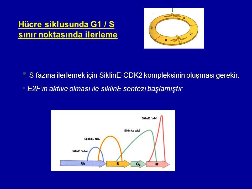 • S fazına ilerlemek için SiklinE-CDK2 kompleksinin oluşması gerekir. • E2F'in aktive olması ile siklinE sentezi başlamıştır Hücre siklusunda G1 / S s
