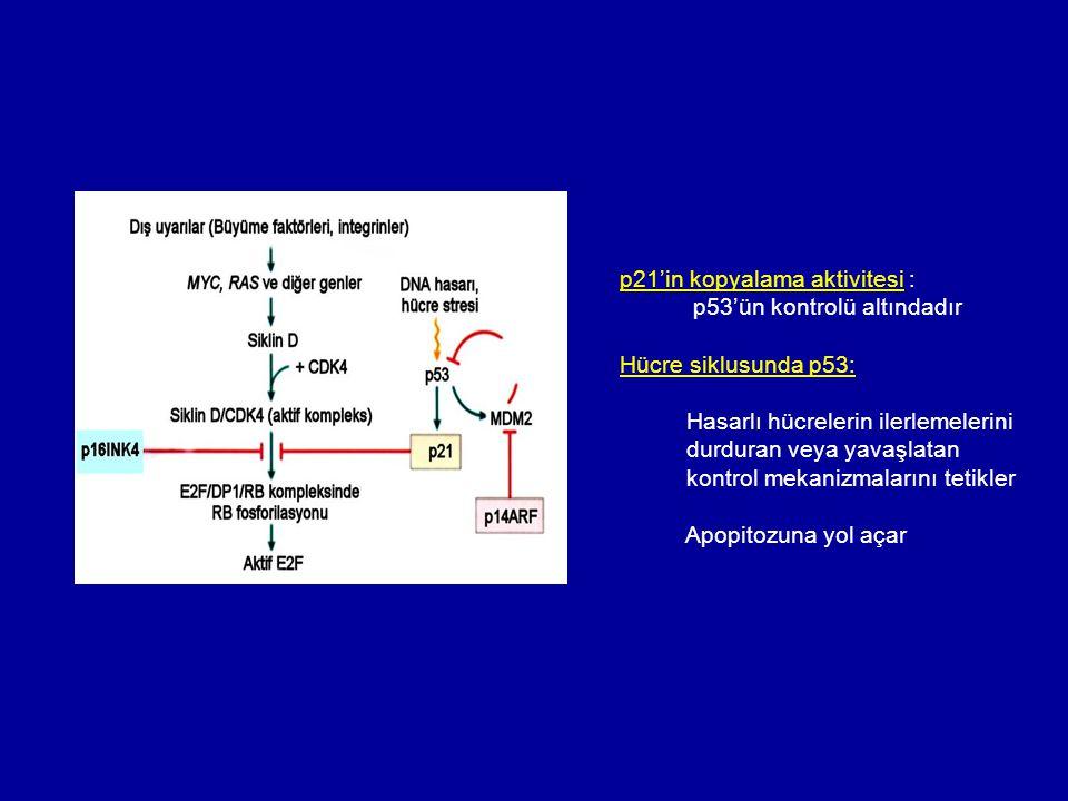 p21'in kopyalama aktivitesi : p53'ün kontrolü altındadır Hücre siklusunda p53: Hasarlı hücrelerin ilerlemelerini durduran veya yavaşlatan kontrol meka