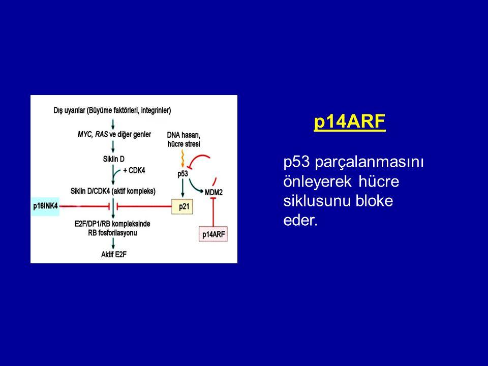 p14ARF p53 parçalanmasını önleyerek hücre siklusunu bloke eder.