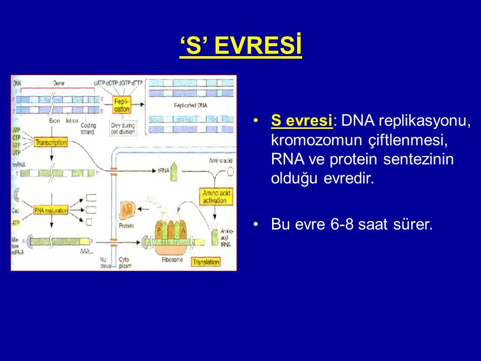 'S' EVRESİ •S evresi: DNA replikasyonu, kromozomun çiftlenmesi, RNA ve protein sentezinin olduğu evredir. •Bu evre 6-8 saat sürer.