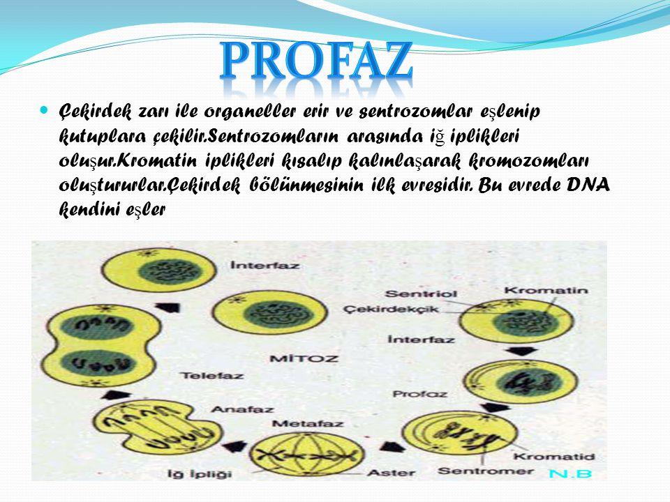 ÇÇekirdek zarı ile organeller erir ve sentrozomlar e ş lenip kutuplara çekilir.Sentrozomların arasında i ğ iplikleri olu ş ur.Kromatin iplikleri kıs