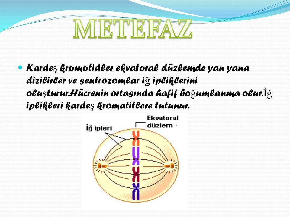 KKarde ş kromotidler ekvatoral düzlemde yan yana dizilirler ve sentrozomlar i ğ ipliklerini olu ş turur.Hücrenin ortasında hafif bo ğ umlanma olur.