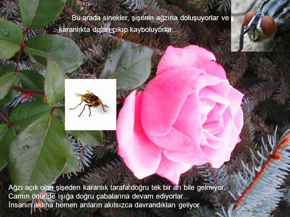 Bir gurup arıyla sinekleri bir şişeye koyuyorlar. Ş işenin taban tarafını ışığa doğru, açık olan ağız kısmını da karanlığa doğru yerleştiriyorlar. Arı