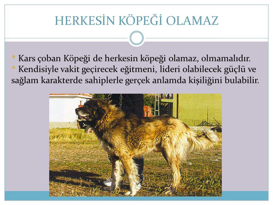 HERKESİN KÖPEĞİ OLAMAZ • Kars çoban Köpeği de herkesin köpeği olamaz, olmamalıdır. • Kendisiyle vakit geçirecek eğitmeni, lideri olabilecek güçlü ve s