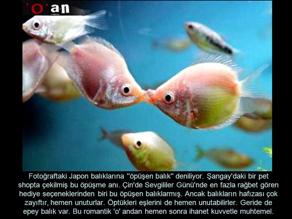Fotoğraftaki Japon balıklarına ''öpüşen balık'' deniliyor. Şangay'daki bir pet shopta çekilmiş bu öpüşme anı. Çin'de Sevgililer Günü'nde en fazla rağb