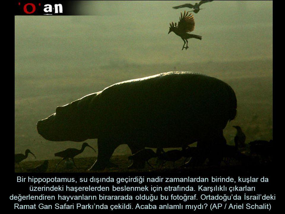 Bir hippopotamus, su dışında geçirdiği nadir zamanlardan birinde, kuşlar da üzerindeki haşerelerden beslenmek için etrafında. Karşılıklı çıkarları değ