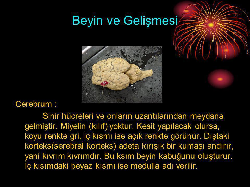 Beyin ve Gelişmesi Cerebrum : Sinir hücreleri ve onların uzantılarından meydana gelmiştir. Miyelin (kılıf) yoktur. Kesit yapılacak olursa, koyu renkte