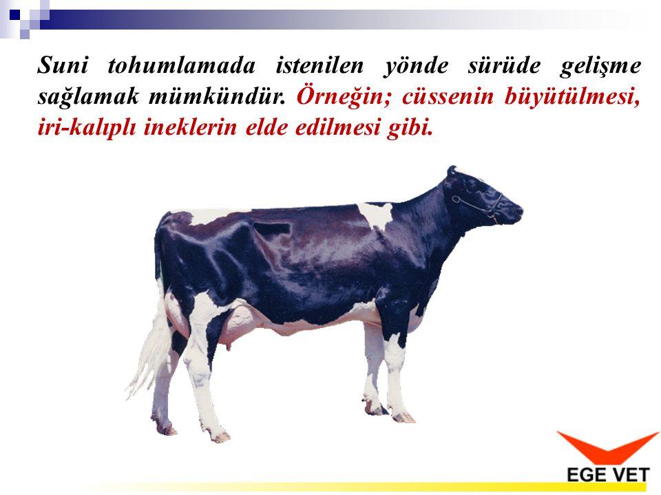 Suni tohumlamada istenilen yönde sürüde gelişme sağlamak mümkündür. Örneğin; cüssenin büyütülmesi, iri-kalıplı ineklerin elde edilmesi gibi.