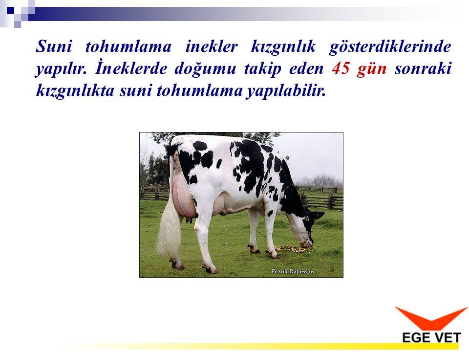 Suni tohumlama inekler kızgınlık gösterdiklerinde yapılır. İneklerde doğumu takip eden 45 gün sonraki kızgınlıkta suni tohumlama yapılabilir.
