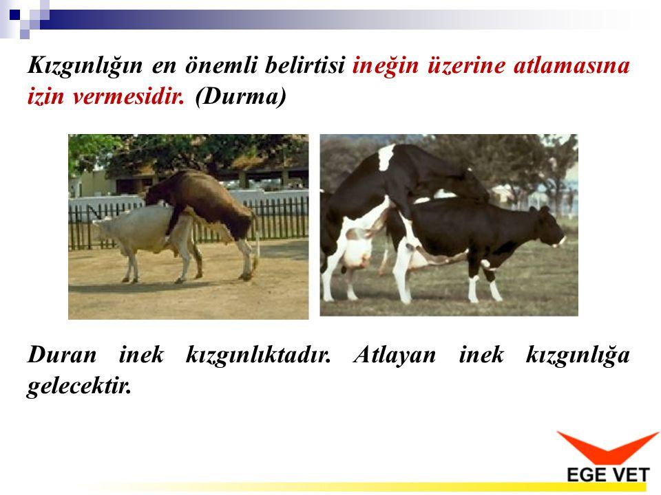 Kızgınlığın en önemli belirtisi ineğin üzerine atlamasına izin vermesidir. (Durma) Duran inek kızgınlıktadır. Atlayan inek kızgınlığa gelecektir.
