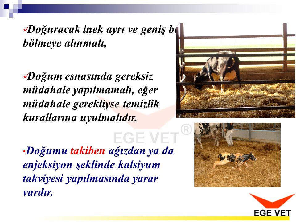  Doğuracak inek ayrı ve geniş bir bölmeye alınmalı,  Doğum esnasında gereksiz müdahale yapılmamalı, eğer müdahale gerekliyse temizlik kurallarına uy
