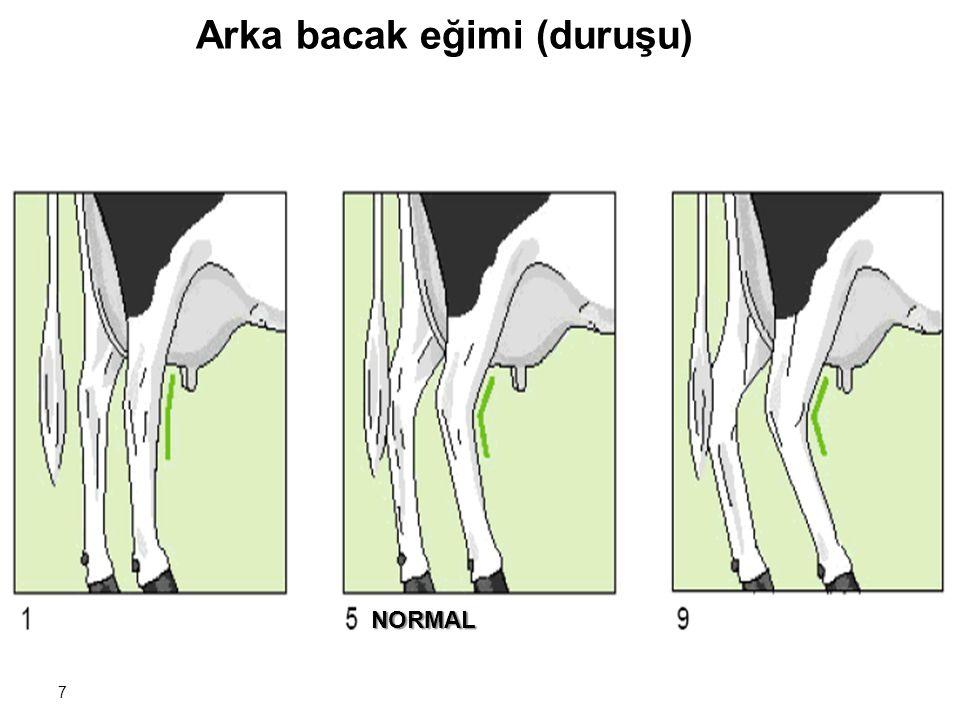 7 Arka bacak eğimi (duruşu) NORMAL