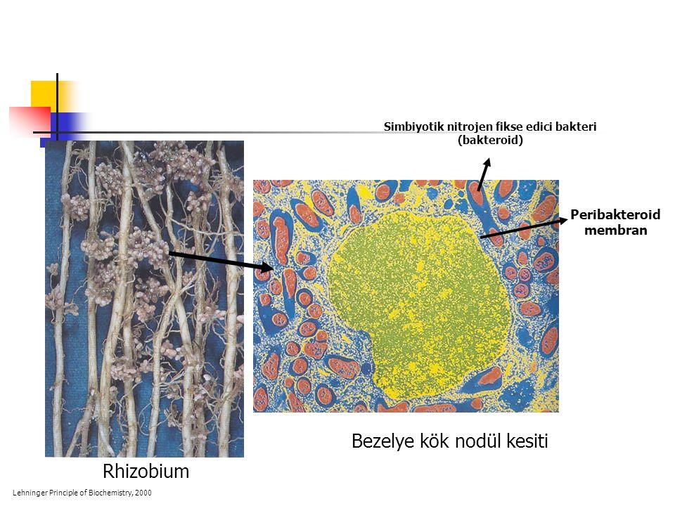 Rhizobium Bezelye kök nodül kesiti Simbiyotik nitrojen fikse edici bakteri (bakteroid) Peribakteroid membran