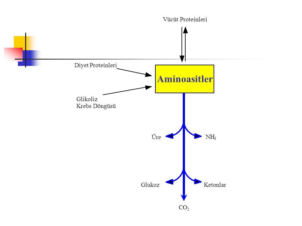 VücütProteinleri Aminoasitler DiyetProteinleriGlikoliz KrebsDöngüsü CO 2 GlukozKetonlar NH 3 Üre