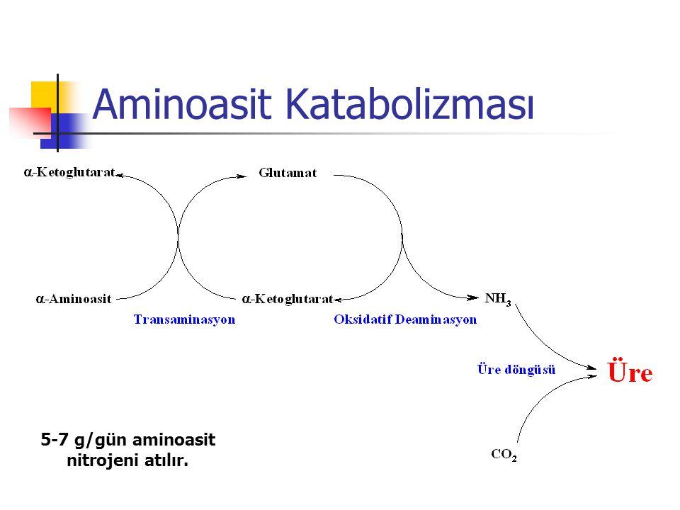 Aminoasit Katabolizması 5-7 g/gün aminoasit nitrojeni atılır.