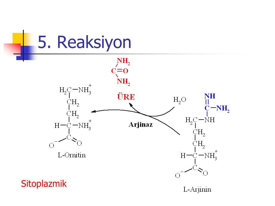 5. Reaksiyon Sitoplazmik