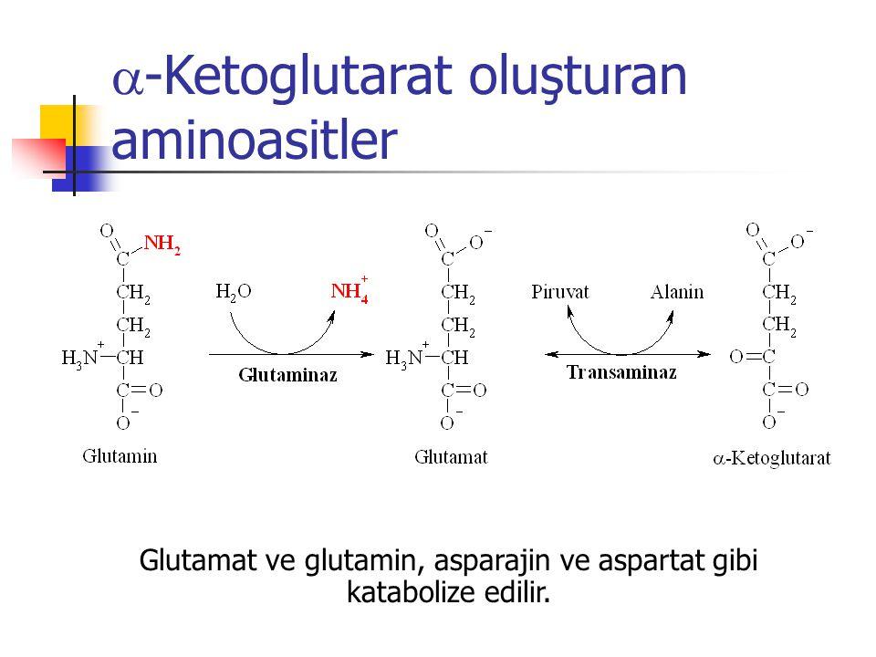  -Ketoglutarat oluşturan aminoasitler Glutamat ve glutamin, asparajin ve aspartat gibi katabolize edilir.