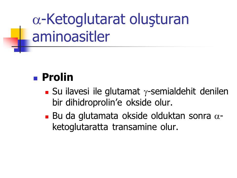  -Ketoglutarat oluşturan aminoasitler  Prolin  Su ilavesi ile glutamat  -semialdehit denilen bir dihidroprolin'e okside olur.