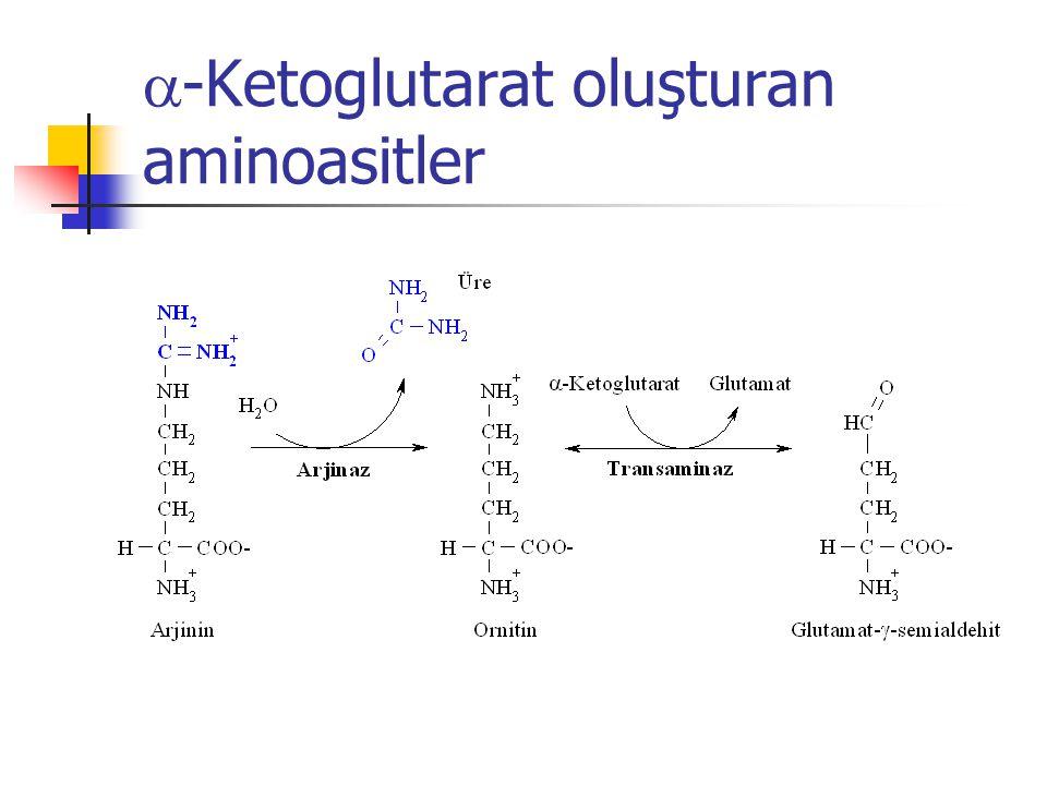  -Ketoglutarat oluşturan aminoasitler