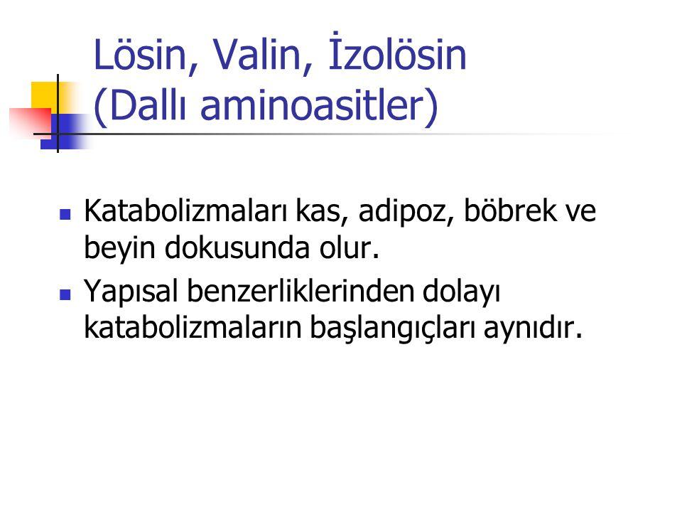 Lösin, Valin, İzolösin (Dallı aminoasitler)  Katabolizmaları kas, adipoz, böbrek ve beyin dokusunda olur.