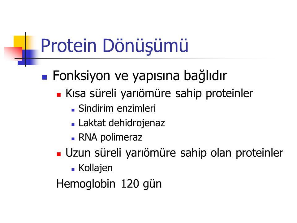 Protein Dönüşümü  Fonksiyon ve yapısına bağlıdır  Kısa süreli yarıömüre sahip proteinler  Sindirim enzimleri  Laktat dehidrojenaz  RNA polimeraz  Uzun süreli yarıömüre sahip olan proteinler  Kollajen Hemoglobin 120 gün