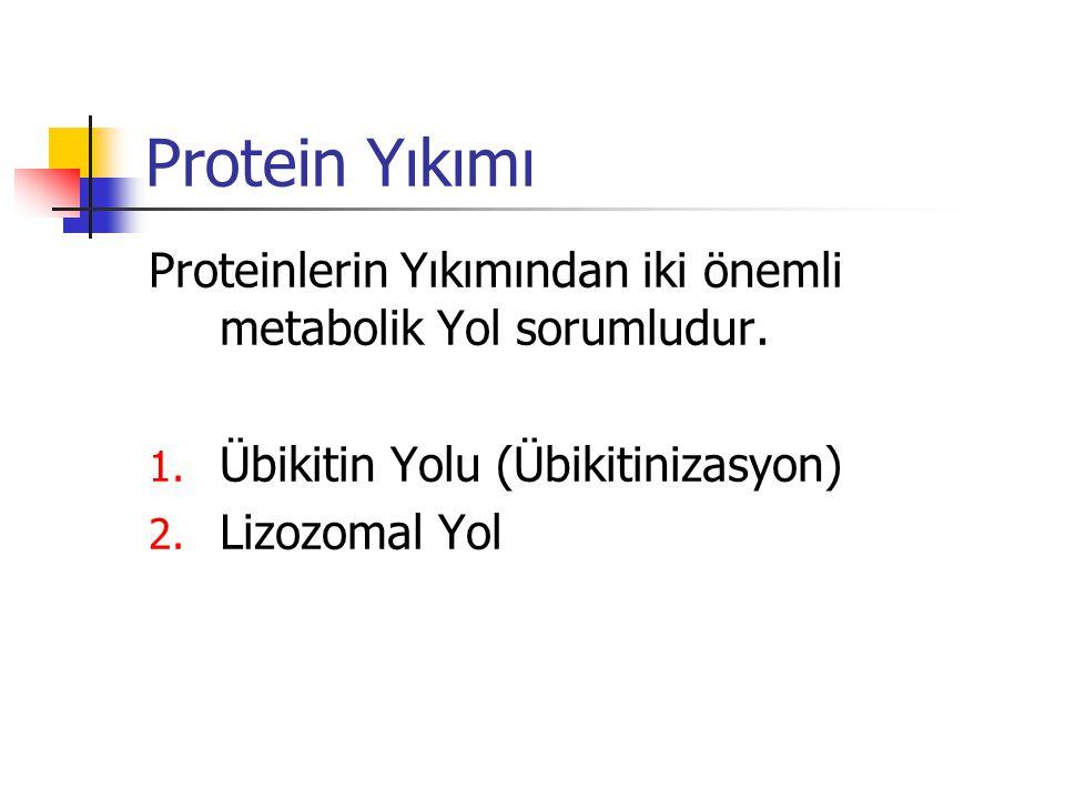 Protein Yıkımı Proteinlerin Yıkımından iki önemli metabolik Yol sorumludur.
