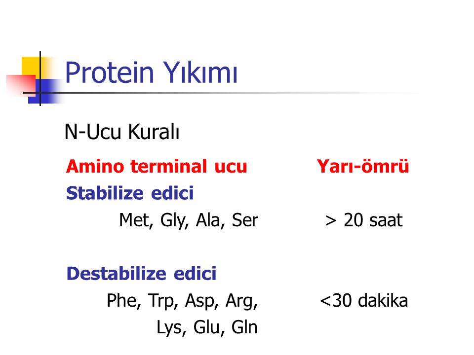 Protein Yıkımı Amino terminal ucuYarı-ömrü Stabilize edici Met, Gly, Ala, Ser> 20 saat Destabilize edici Phe, Trp, Asp, Arg, Lys, Glu, Gln <30 dakika N-Ucu Kuralı