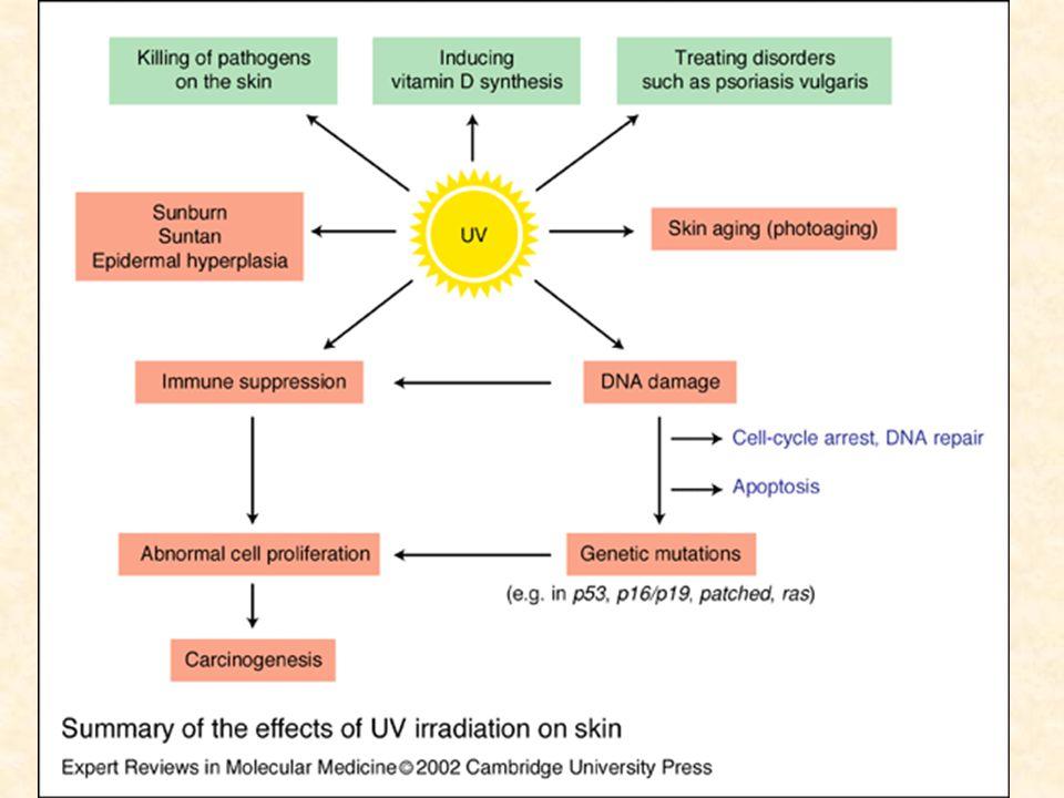 Güneş Işınlarının Zararlı Etkilerinin Dalga Boyları İle İlgisi UVB (290-320 nm) UVA (320-400 nm) Görünür Işık (400-760 nm) Erken pigmentasyon Var Yok Gecikmiş pigmentasyon Var (Çok güçlü)Var (Orta-yüksek)Yok Güneş yanığı Var (Güçlü eritem)Var (Zayıf eritem)Yok Fototoksisite Var Fotoallerji YokVarYok Fotoyaşlanma Var (Hafif-Orta)Var (Güçlü)Var Fotokarsinojenez Var (Güçlü)Var (Zayıf)Yok Vitamin D sentezi VarYok İmmünmodülasyon Var Yok Hiperplastik reaksiyon Var Yok