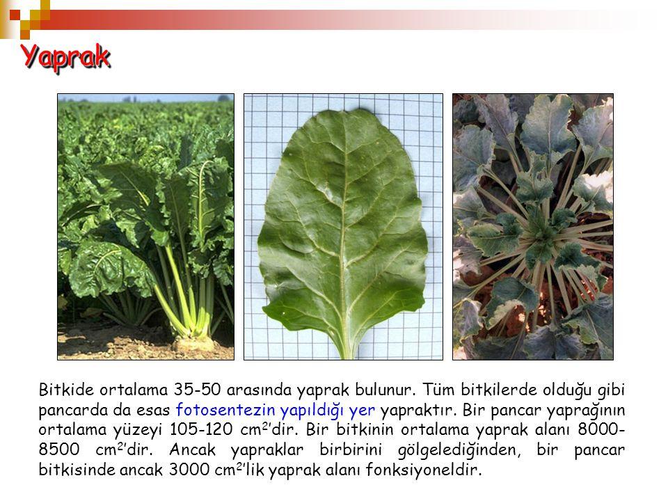 YaprakYaprak Bitkide ortalama 35-50 arasında yaprak bulunur. Tüm bitkilerde olduğu gibi pancarda da esas fotosentezin yapıldığı yer yapraktır. Bir pan
