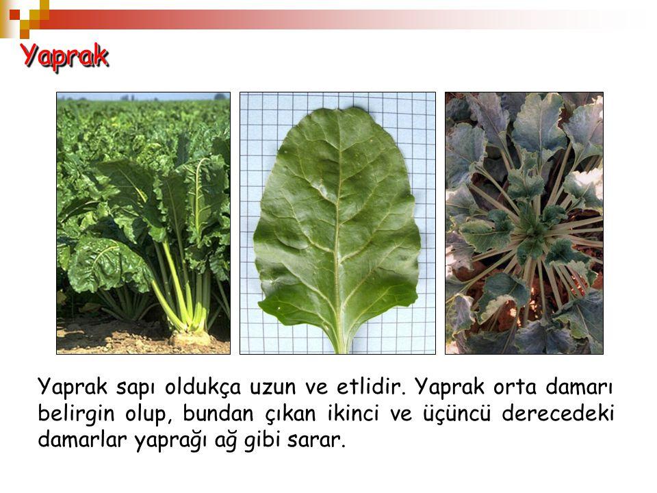 YaprakYaprak Yaprak sapı oldukça uzun ve etlidir. Yaprak orta damarı belirgin olup, bundan çıkan ikinci ve üçüncü derecedeki damarlar yaprağı ağ gibi