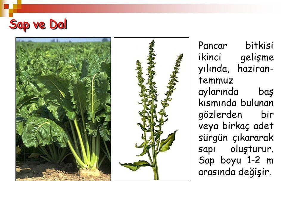 Sap ve Dal Pancar bitkisi ikinci gelişme yılında, haziran- temmuz aylarında baş kısmında bulunan gözlerden bir veya birkaç adet sürgün çıkararak sapı