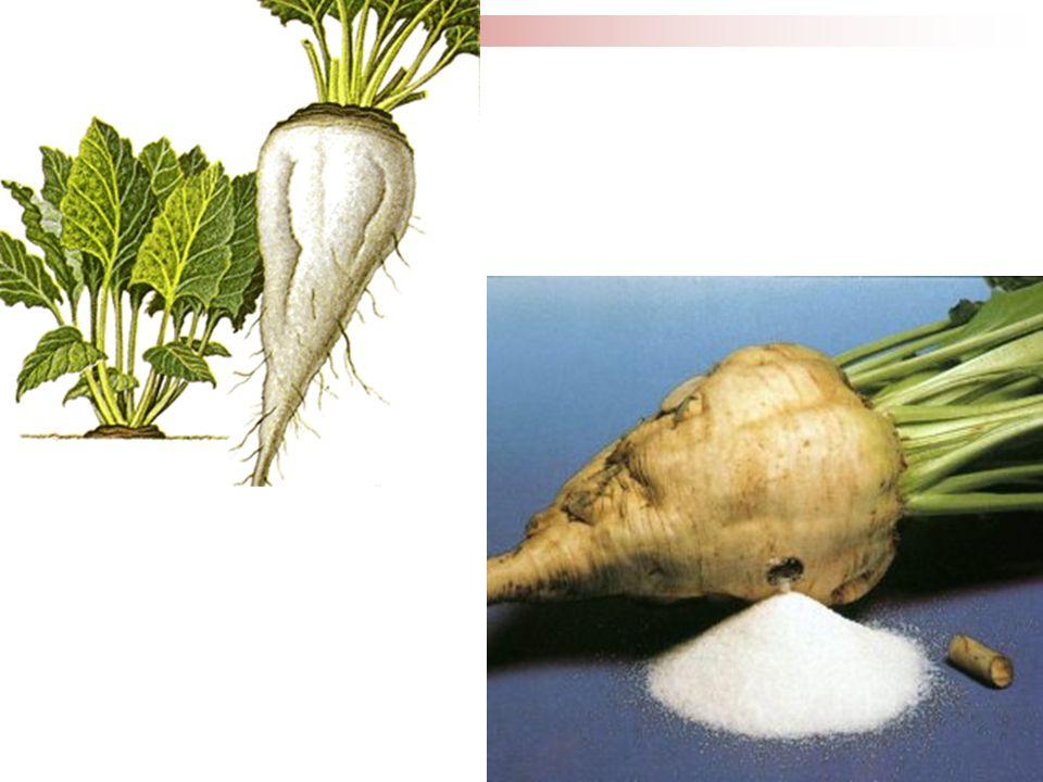 Gövde Boyundan kuyruğa kadar olan kısımdır.Şeker üretilen asıl kısım gövdedir.