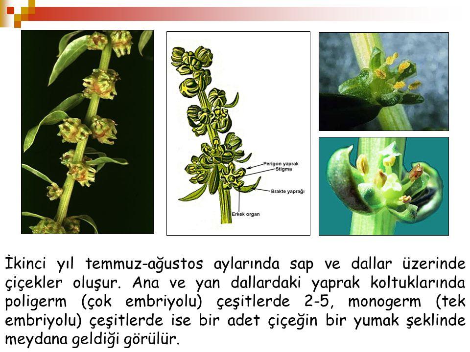 İkinci yıl temmuz-ağustos aylarında sap ve dallar üzerinde çiçekler oluşur. Ana ve yan dallardaki yaprak koltuklarında poligerm (çok embriyolu) çeşitl