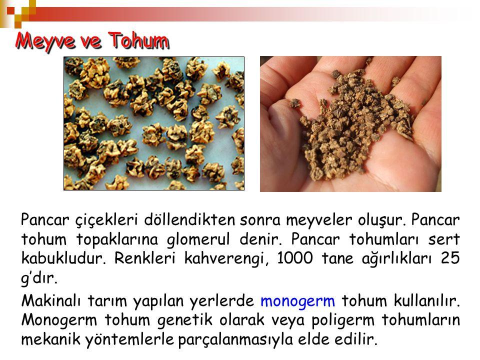 Meyve ve Tohum Pancar çiçekleri döllendikten sonra meyveler oluşur. Pancar tohum topaklarına glomerul denir. Pancar tohumları sert kabukludur. Renkler