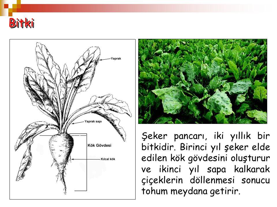 BitkiBitki Şeker pancarı, iki yıllık bir bitkidir. Birinci yıl şeker elde edilen kök gövdesini oluşturur ve ikinci yıl sapa kalkarak çiçeklerin döllen