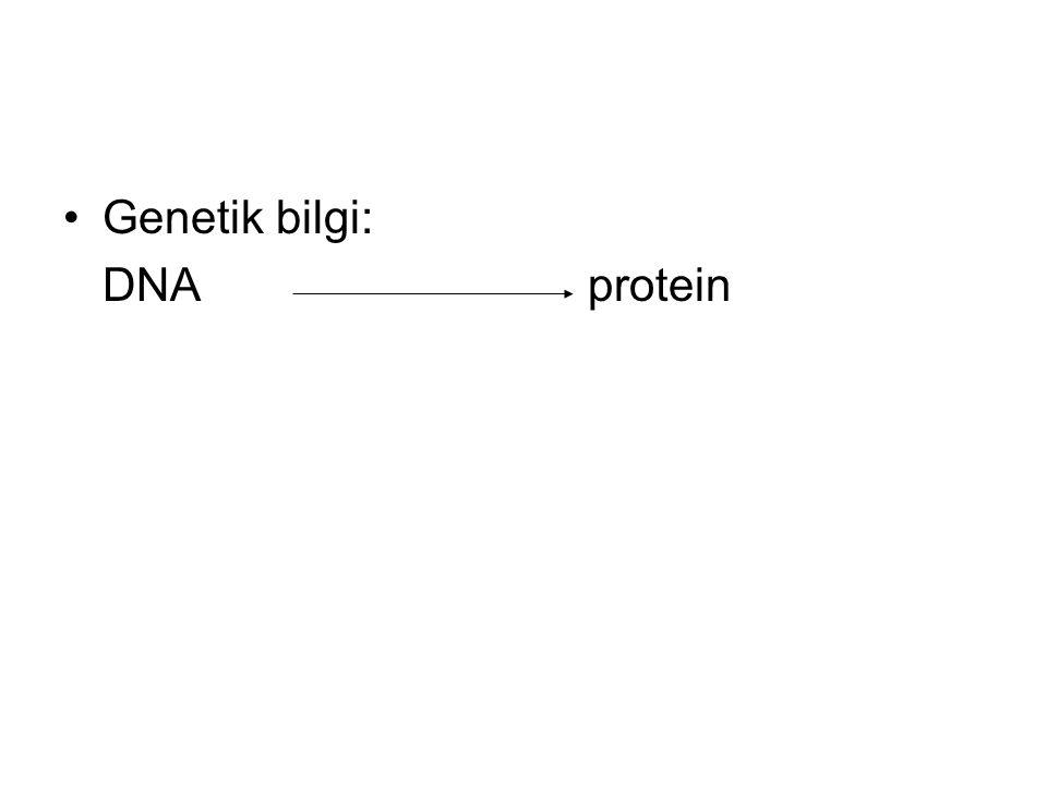 •Genetik bilgi: DNA protein