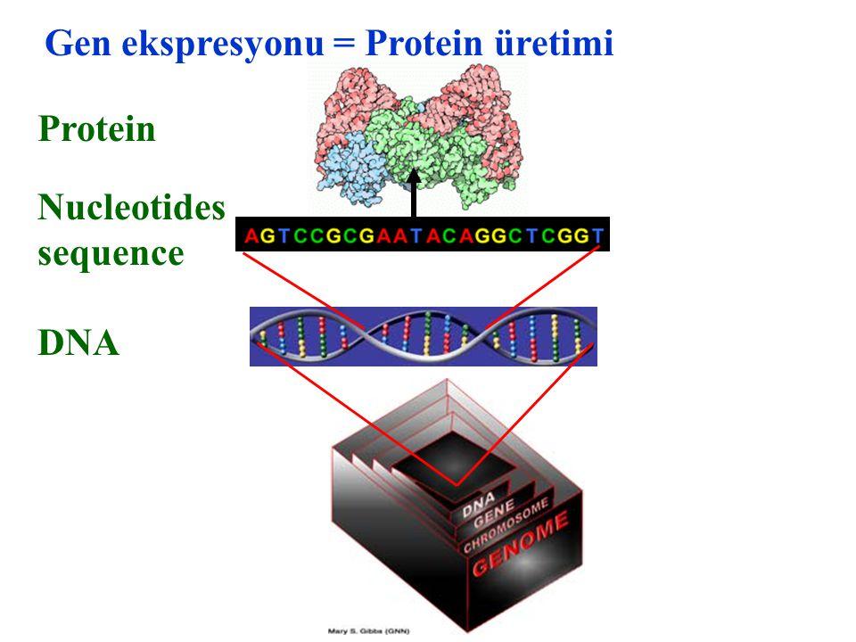DNA Protein Nucleotides sequence Gen ekspresyonu = Protein üretimi