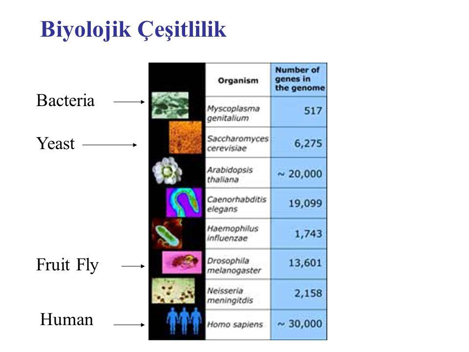 Biyolojik Çeşitlilik Bacteria Fruit Fly Human Yeast