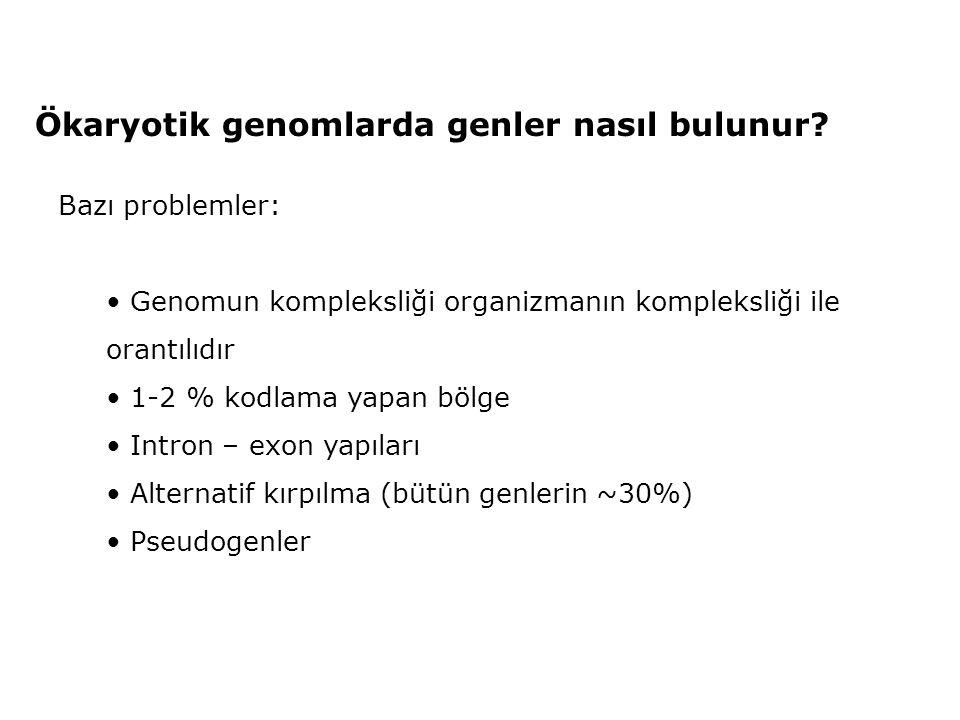 Ökaryotik genomlarda genler nasıl bulunur? Bazı problemler: • Genomun kompleksliği organizmanın kompleksliği ile orantılıdır • 1-2 % kodlama yapan böl