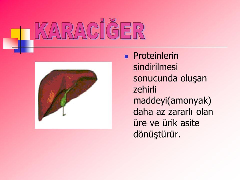PProteinlerin sindirilmesi sonucunda oluşan zehirli maddeyi(amonyak) daha az zararlı olan üre ve ürik asite dönüştürür.
