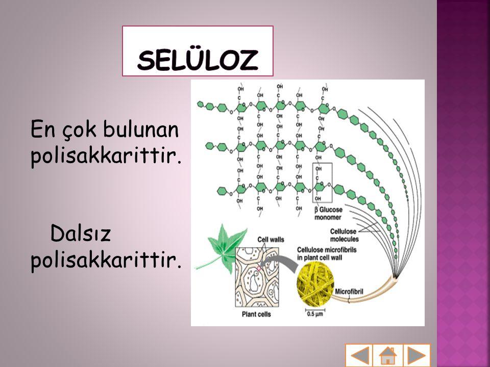 En çok bulunan polisakkarittir. Dalsız polisakkarittir.