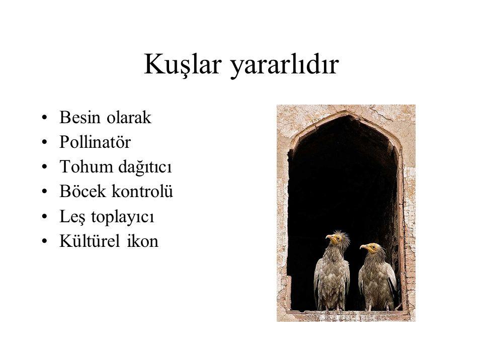 Kuşlar inanılmazdır •Arktik sumrular yılda 40,000 km'lik göç yaparlar.
