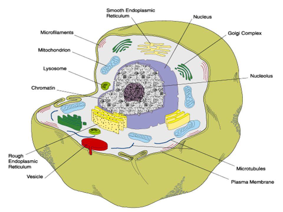 Tıbbi açıdan önemli mikroorganizmaların karşılaştırılması ÖzelliklerVirüslerBakterilerMantarlarProtozo onlar Hücre---Var Ortalama ölçüler (nm) 0.02-0.21-53-1015-20 protozoon Nükleik asitDNA veya RNA DNA+RNA RNA+RNA Çekirdek tipiYokProkaryotikÖkaryotik RibozomYokVar MitokondriYok Var HareketYokBazılarında var YokPekçoğunda var