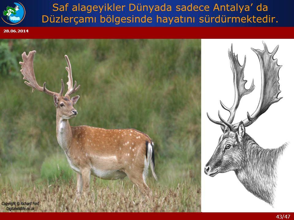 43/47 28.06.2014 Saf alageyikler Dünyada sadece Antalya' da Düzlerçamı bölgesinde hayatını sürdürmektedir.