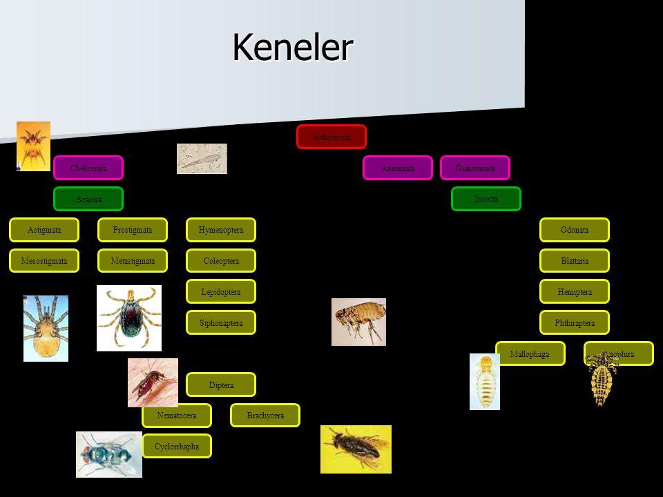  Argasidae ve Ixodidae aileleri yer alır –Argasidae (yumuşak keneler) 120 tür  Argas  Ornithodoros  Otobius –Ixodidae (sert keneler) 680 tür  Ixodes  Rhipicephalus  Boophilus  Dermacentor  Haemaphysalis  Hyalomma  Ambylomma